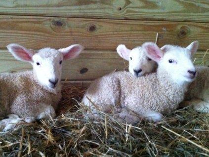 Lambs_1 5_12_13