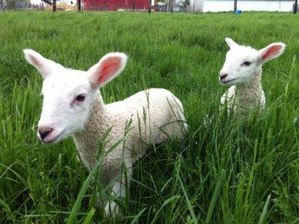 Lambs_2 5_12_13