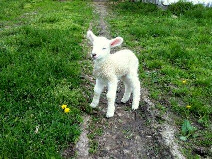 Lambs_3 5_12_13