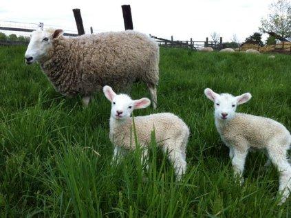 Lambs_5 5_12_13