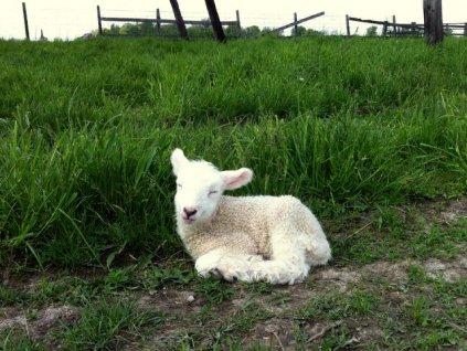 Lambs_6 5_12_13