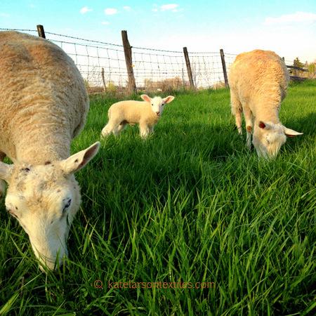2015 lambs 1