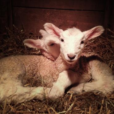 Pile o' lambs.