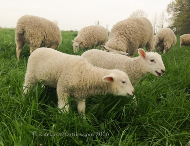 Week-old lambs ready for spring forage.