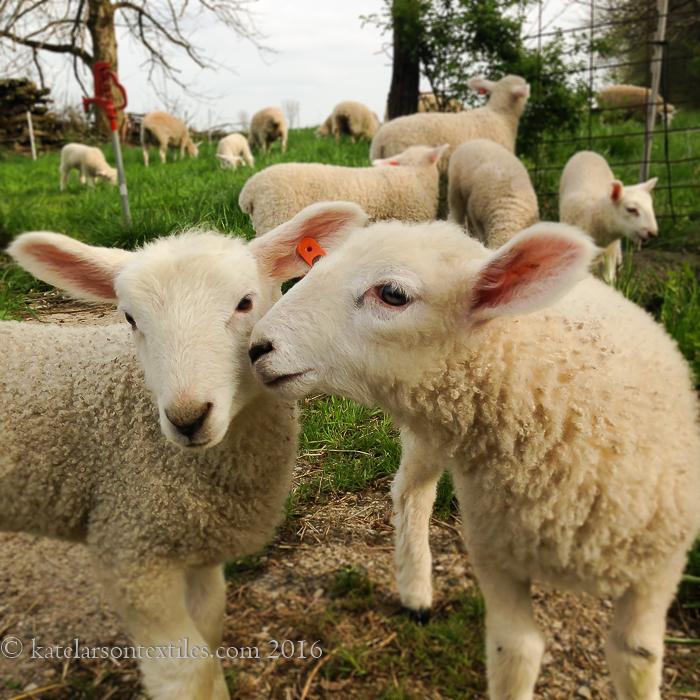 Larson_lambs16_8